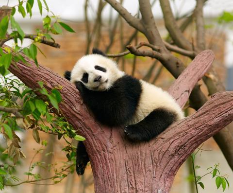 China Owns Every Panda